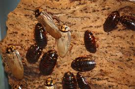 Roach egg