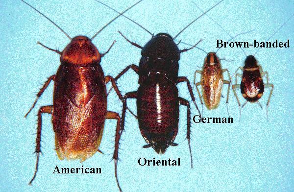roach species