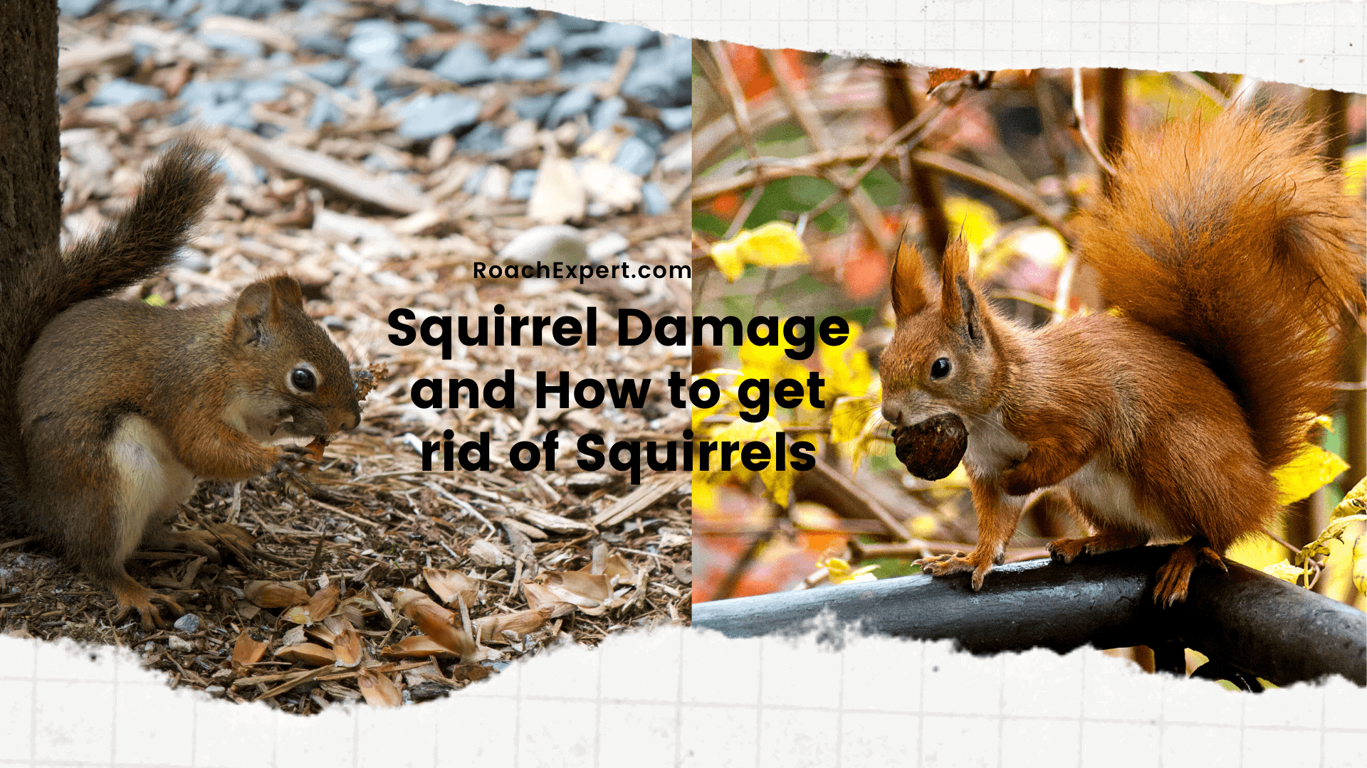 Squirrel Damage and How to get rid of Squirrels