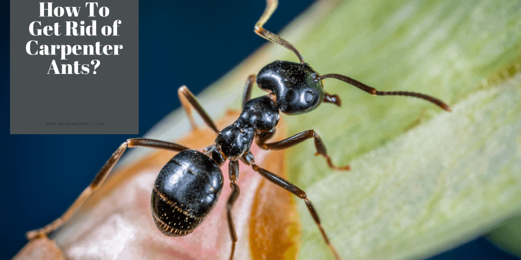 Get Rid of Carpenter Ant