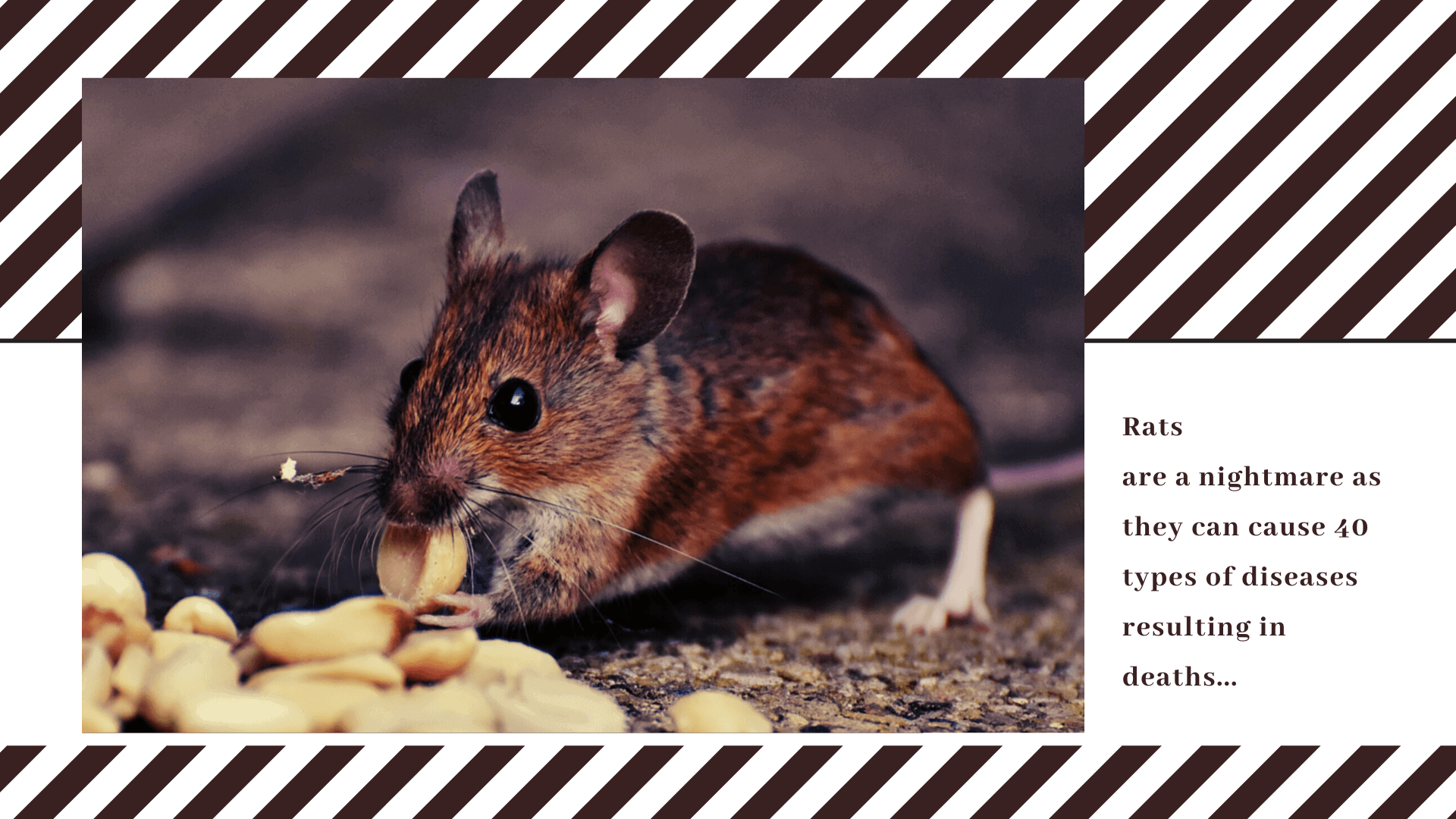 Rats are a nightmare as they can cause 40 types of diseases resulting in deaths
