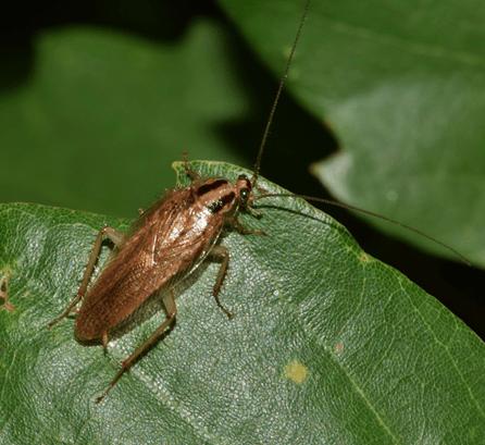 Best Roach Repellent