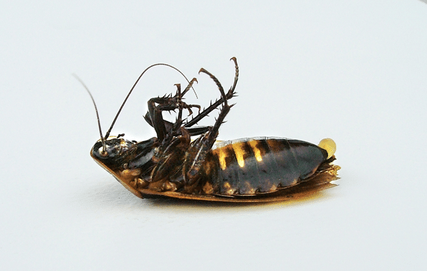 what cockroaches look like and how to get rid of them